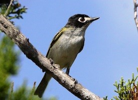 Black-capped Vireo Photo