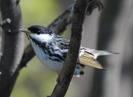 Blackpoll Warbler Photo
