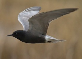 Black Tern Photo
