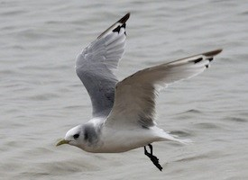 Black-legged Kittiwake Photo