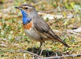 Bluethroat Photo