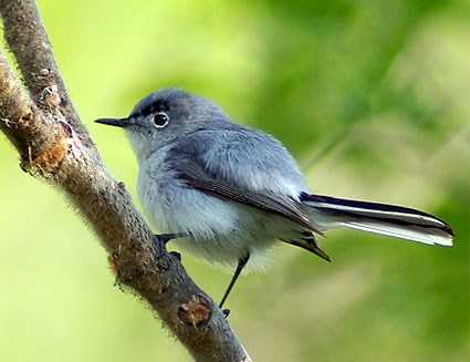 blue_gray_gnatcatcher_sim_1.jpg