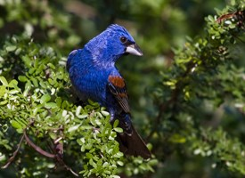 Blue Grosbeak Photo