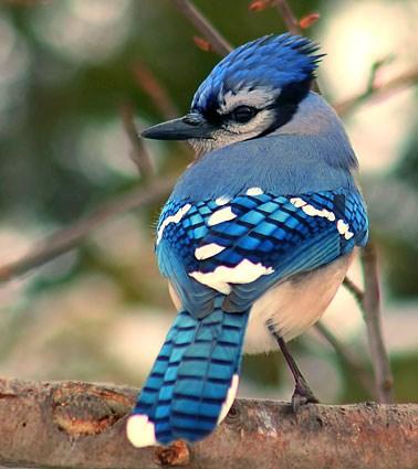https://www.allaboutbirds.org/guide/PHOTO/LARGE/blue_jay_7.jpg