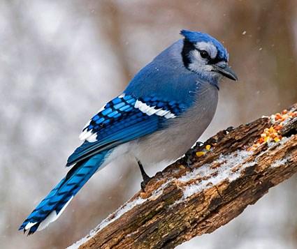 Female Blue Jay Bird