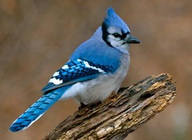 Blue Jay, Identification, All About Birds - Cornell Lab of Ornithology