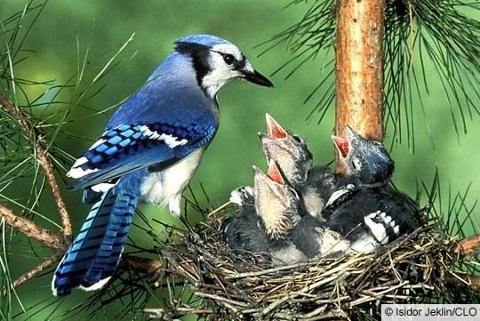 Baby Blue Jay Bird Gallery Female Blue Ja...