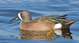 Blue-winged Teal Photo