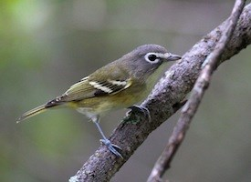 Blue-headed Vireo Photo