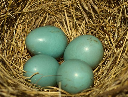 Eastern Bluebird Nest Image 1