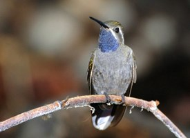 Blue-throated Hummingbird Photo