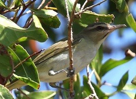 Black-whiskered Vireo Photo