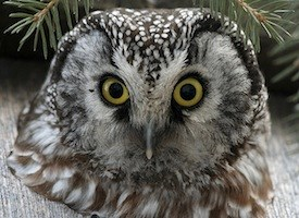 Boreal Owl Life History All About Birds Cornell Lab Of