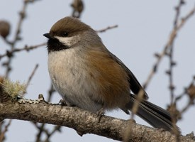 Boreal Chickadee Photo