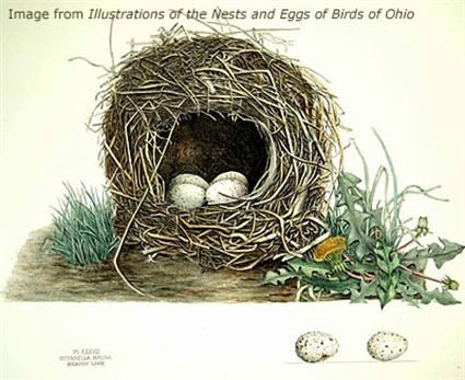 Eastern Meadowlark Nest Image 1