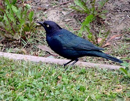 What Birds Have Black Bodies And Blue Heads 37