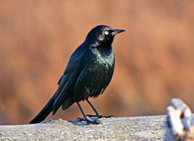 Brewer's Blackbird Photo