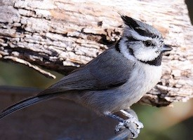 Bridled Titmouse Photo