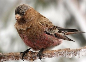 Brown-capped Rosy-Finch Photo
