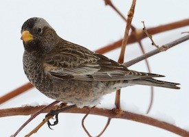 Black Rosy-Finch Photo