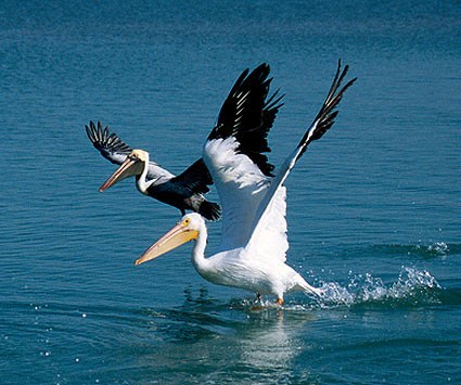 Adult Brown Pelican and Adult American White Pelican