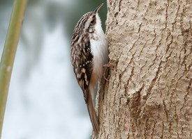 Brown Creeper Photo