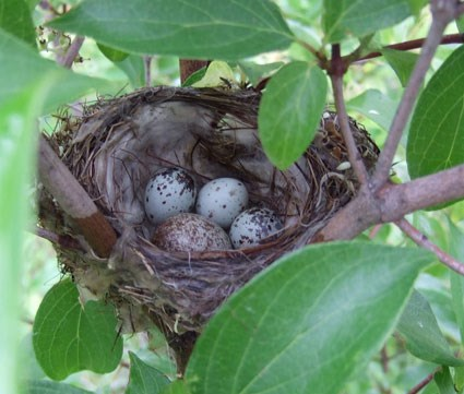 Parasitized Yellow Warbler nest