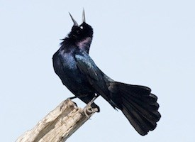 Boat-tailed Grackle Photo
