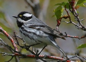 Black-throated Gray Warbler Photo
