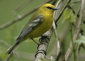 Blue-winged Warbler Photo