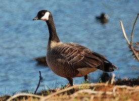 Cackling Goose Photo