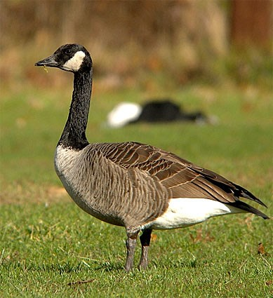 https://www.allaboutbirds.org/guide/PHOTO/LARGE/canada_goose_1.jpg