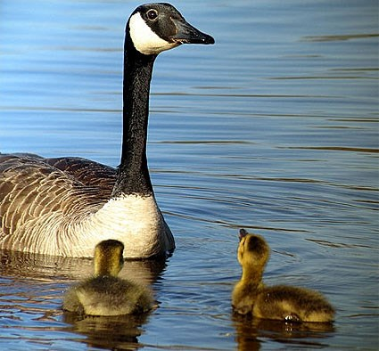 Adult and goslings