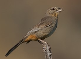 Canyon Towhee Photo