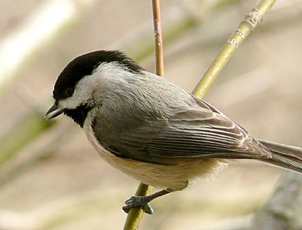 Carolina Chickadee. Adult. Usually can be separated by range (Black-capped ...