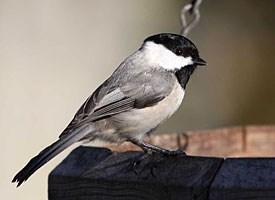 Carolina Chickadee Photo