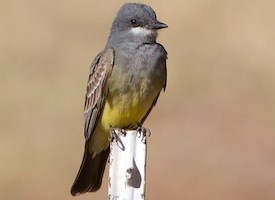 Cassin's Kingbird Photo