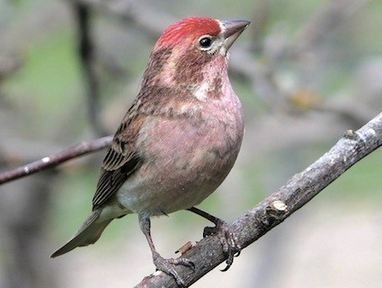 Cassin's Finch, Identification, All About Birds - Cornell Lab of ...