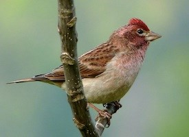 Cassin's Finch Photo