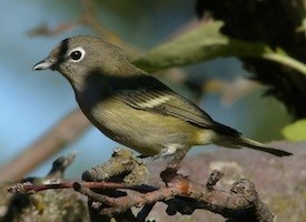 Cassin's Vireo Photo