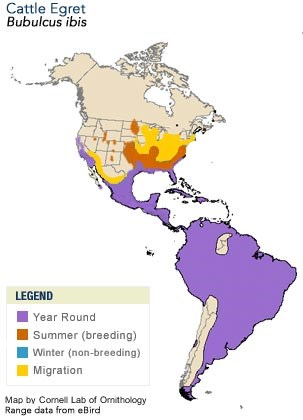 Cattle Egret Life History All About Birds Cornell Lab Of - Map of us livestock population