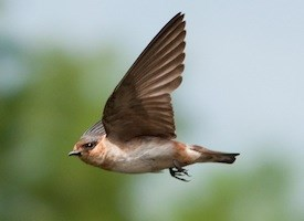 Cave Swallow Photo