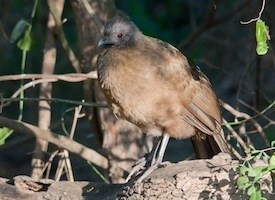 Plain Chachalaca Photo