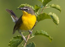 Yellow-breasted Chat Photo