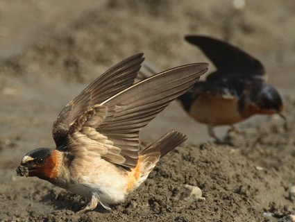 Adult with Barn Swallow in background