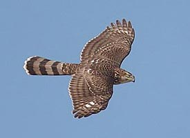 What Type Of Hawks Are In Long Island