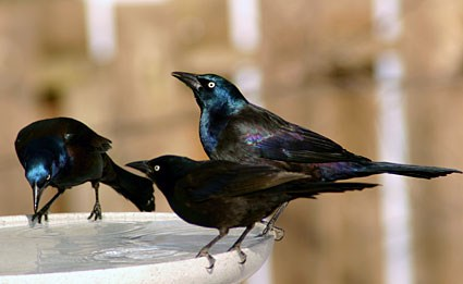 Adult males and female