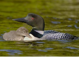 Common Loon Photo