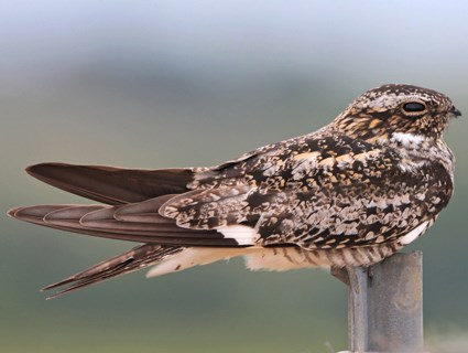Nighthawk Birdie