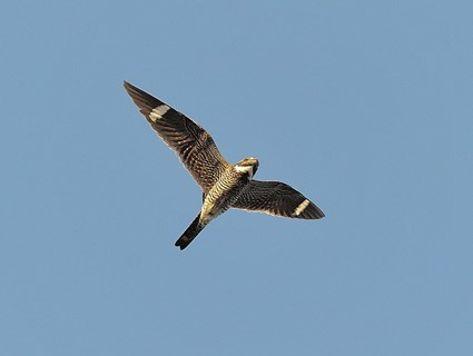 Great Grey Owl Flying Common Nighthawk, Iden...